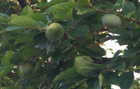 まだ青い柿の実