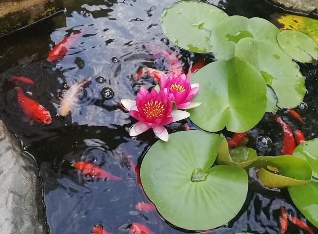 2連開花する睡蓮