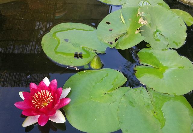 睡蓮の花とオンブバッタ
