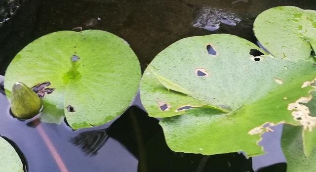 雨に濡れる睡蓮の葉に乗るバッタ