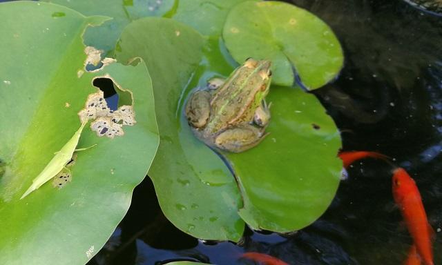 睡蓮の葉に乗るオンブバッタとトウキョウダルマガエル