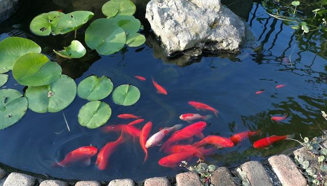 池にたくさんの赤い金魚と睡蓮