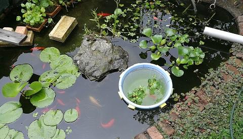 池に浮かぶ隔離用のザルに入ったホテイアオイと金魚