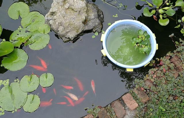 池の中に浮かぶ隔離用ザル