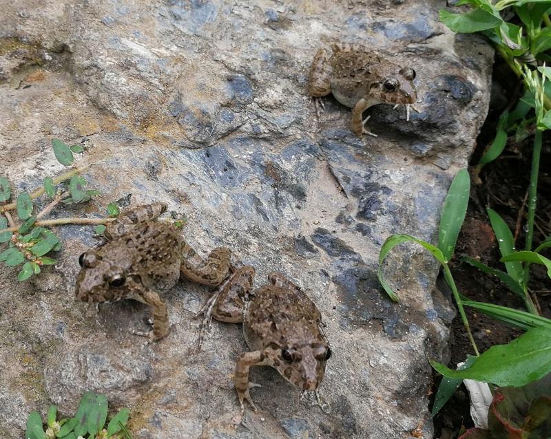 石の上で餌を待つヌマガエル3匹