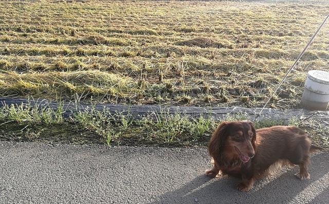 稲が刈られた田んぼの前にミニチュアダックスフンド