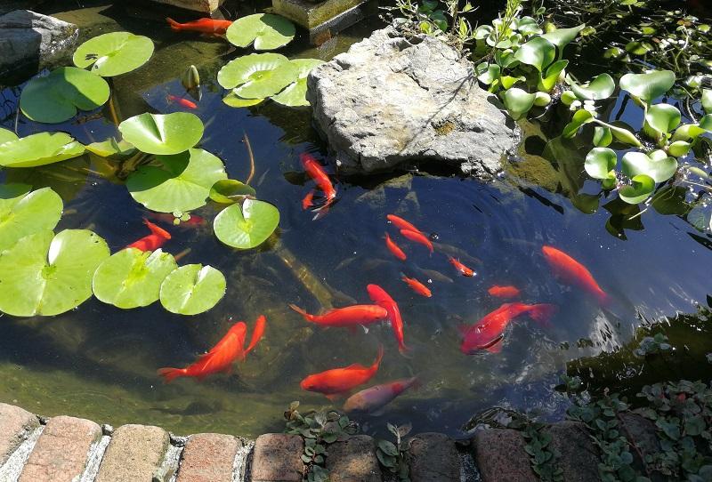 自作池に泳ぐ金魚とモツゴ