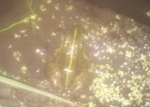 夜の田んぼに潜むトウキョウダルマガエル