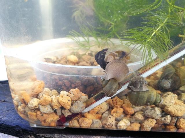水温系に群がるヒメタニシ