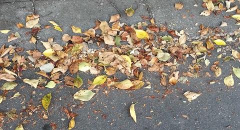 道路に落ちた桜の葉