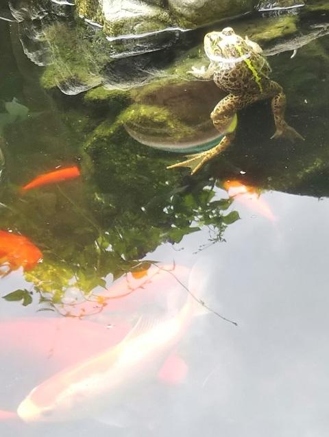 トウキョウダルマガエルと金魚