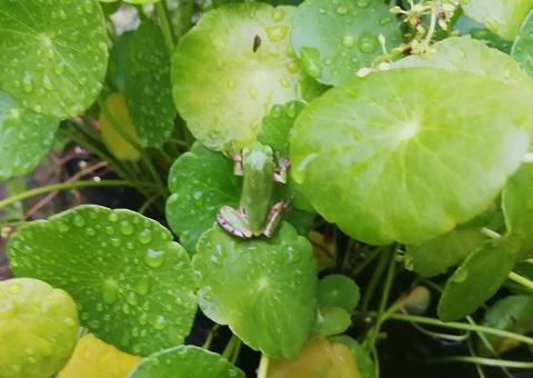 ウォーターマッシュルームの葉にのるアマガエル