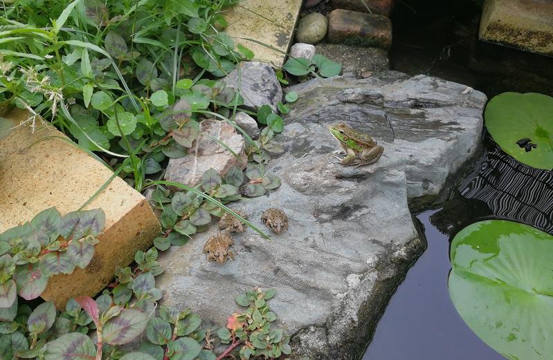 池の端の岩の上に3匹のヌマガエルと1匹のトウキョウダルマガエル