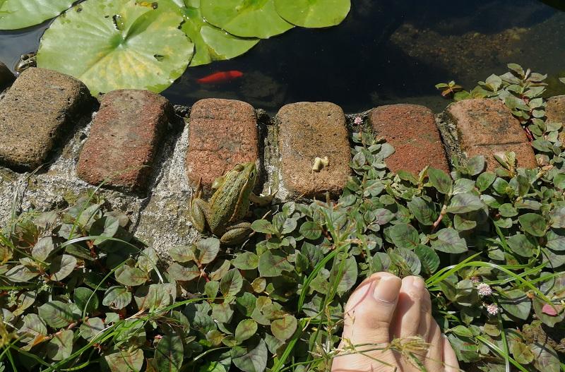 足の近くまで寄ってきたトウキョウダルマガエル
