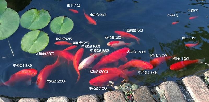 金魚の大きさ別与える餌の粒数