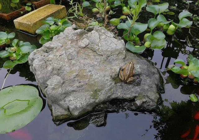 池の岩に乗るトウキョウダルマガエル