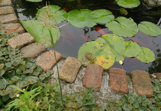 池で睡蓮の葉にのるトウキョウダルマガエル