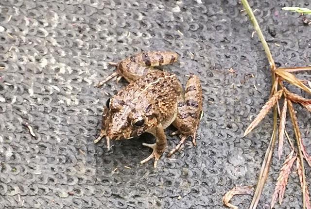 小ぶりなヌマガエル