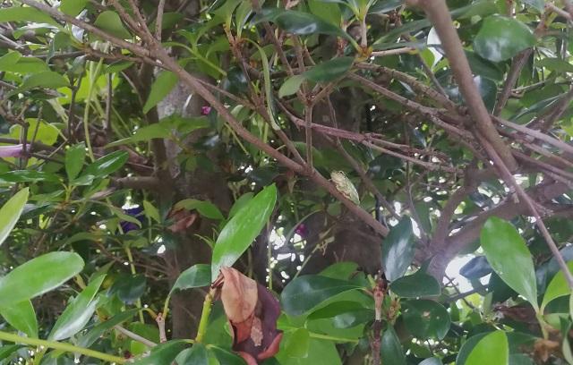 木に登るアマガエル