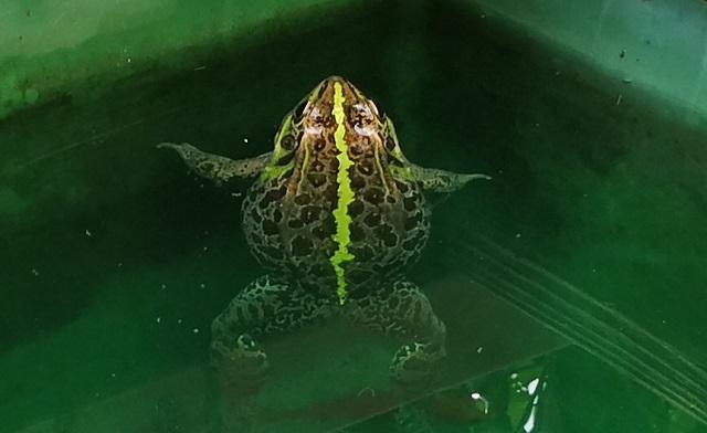 水に浮かぶトウキョウダルマガエル