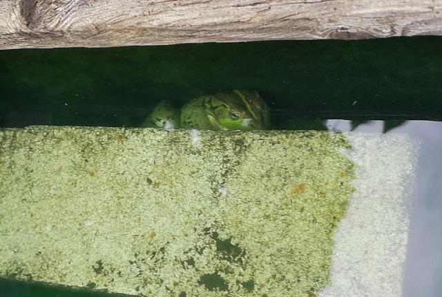 水中に隠れるトウキョウダルマガエル