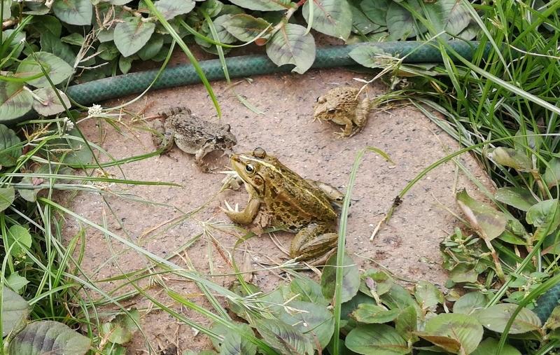 餌やり場のタイルの上にトウキョウダルマガエル1匹とヌマガエル2匹