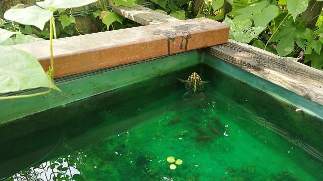 プラ舟に浮かぶトウキョウダルマガエル