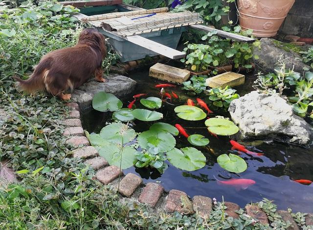 池の端にダックスフンド、池の中に赤い和金