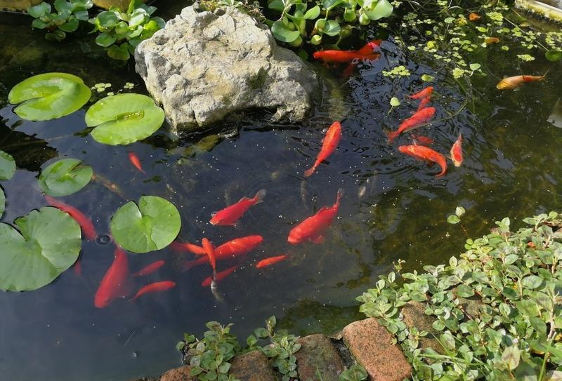 池で餌を食べる金魚とモツゴ