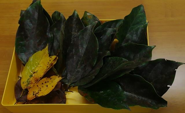 メダカ越冬用の柿の葉と桜の葉