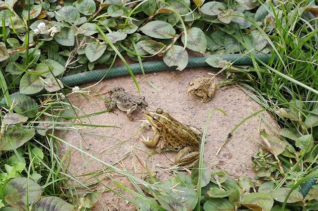 トウキョウダルマガエル1匹とヌマガエル2匹
