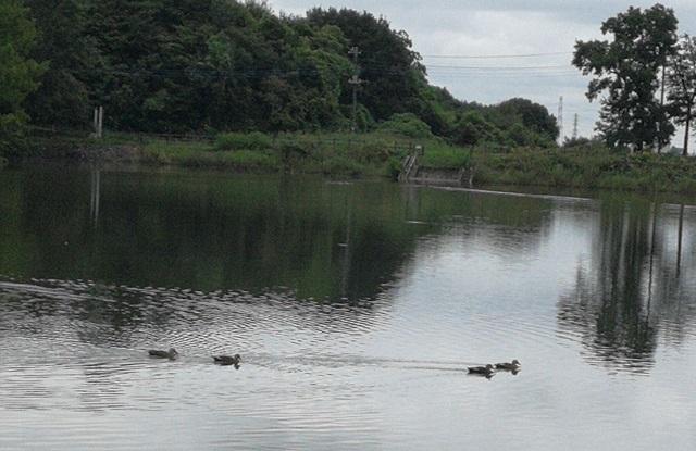 広い池を悠々と泳ぐカルガモ