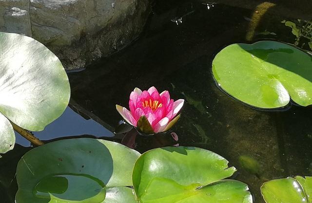 池に咲く睡蓮の花