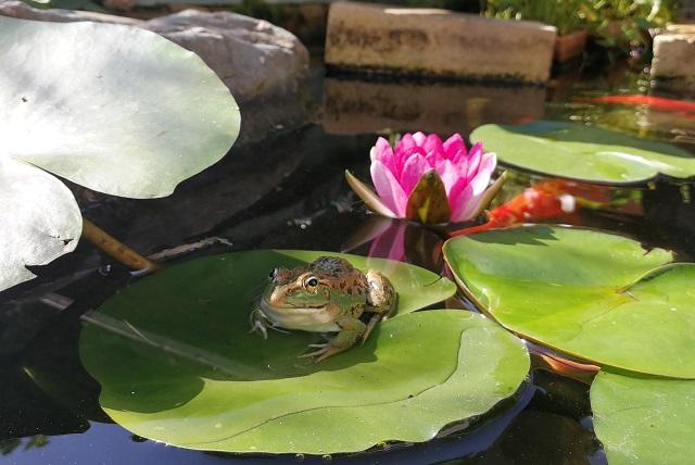 トウキョウダルマガエルと睡蓮の花