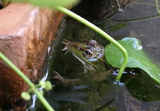 鉢につかまるように浮くトウキョウダルマガエル