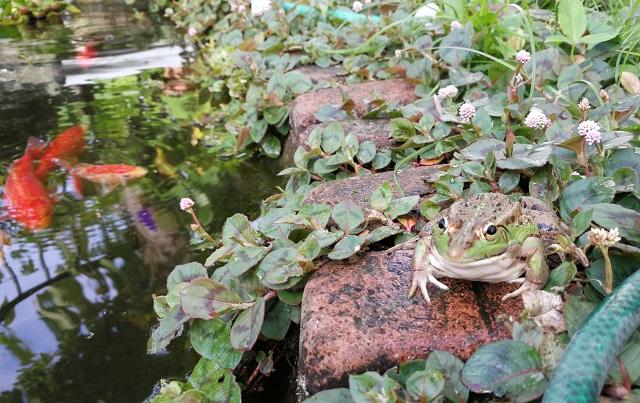 池の端に座るトウキョウダルマガエル