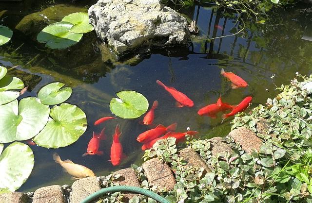 澄んだ水の池に10匹あまりの和金