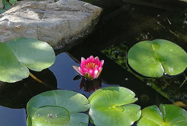 ピンクの花が半分開いた睡蓮