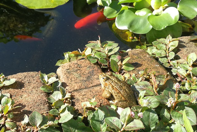 池の端でくつろぐトウキョウダルマガエル
