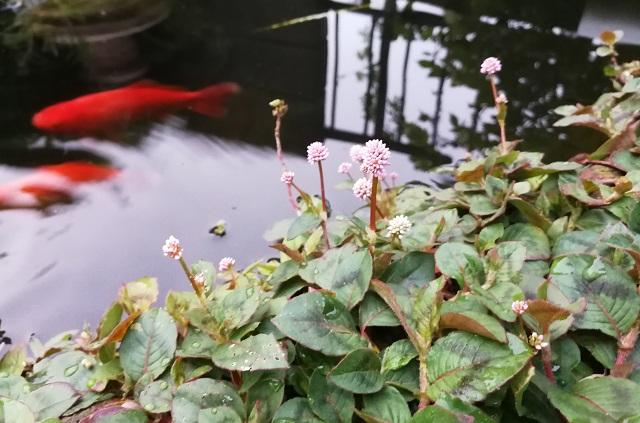池の端に咲くヒメツルソバ
