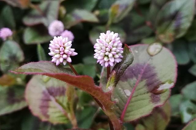 コンペイトウのようなヒメツルソバの花