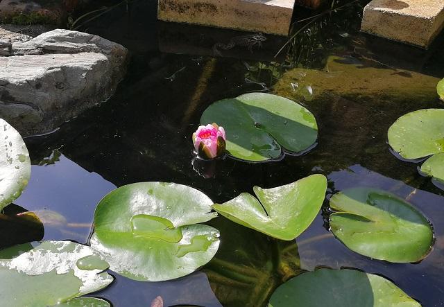 ほんの少しだけ開いた睡蓮の花