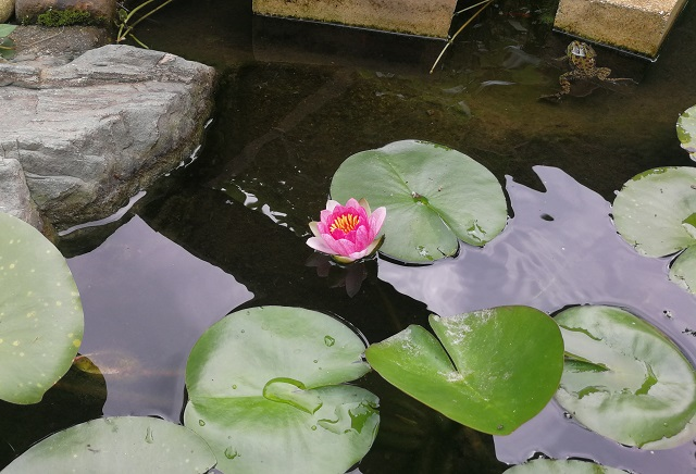 少し開いた睡蓮の花