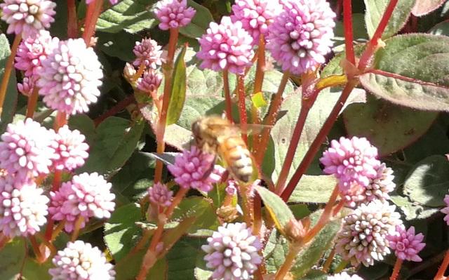 ヒメツルソバとミツバチ