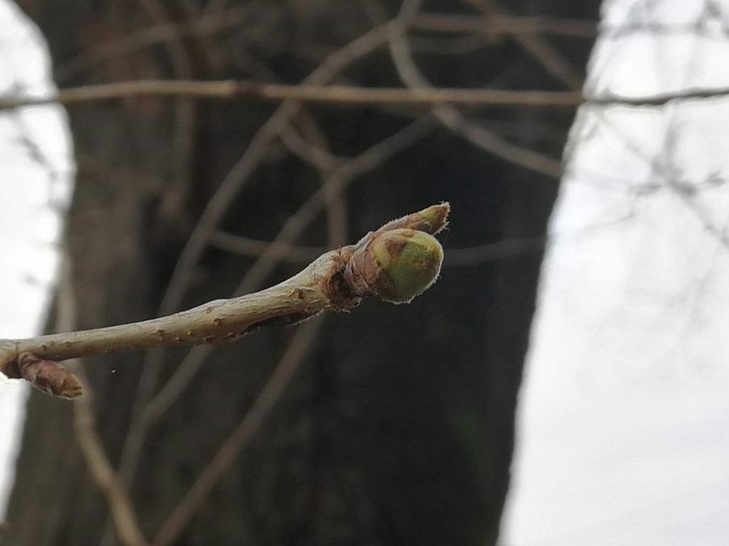 桜(ソメイヨシノ)の蕾