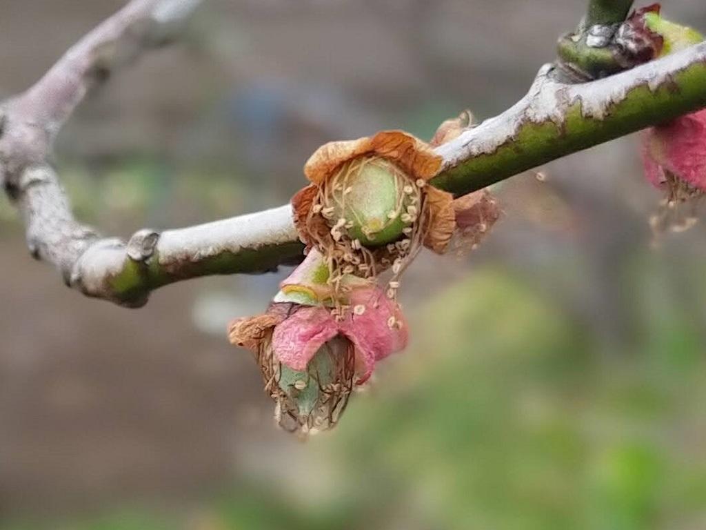 まだ雄しべが残る小さな梅の実