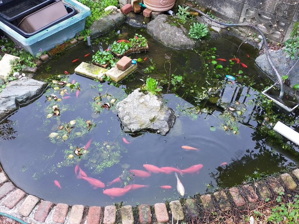 池をグルグル泳ぎ回る金魚