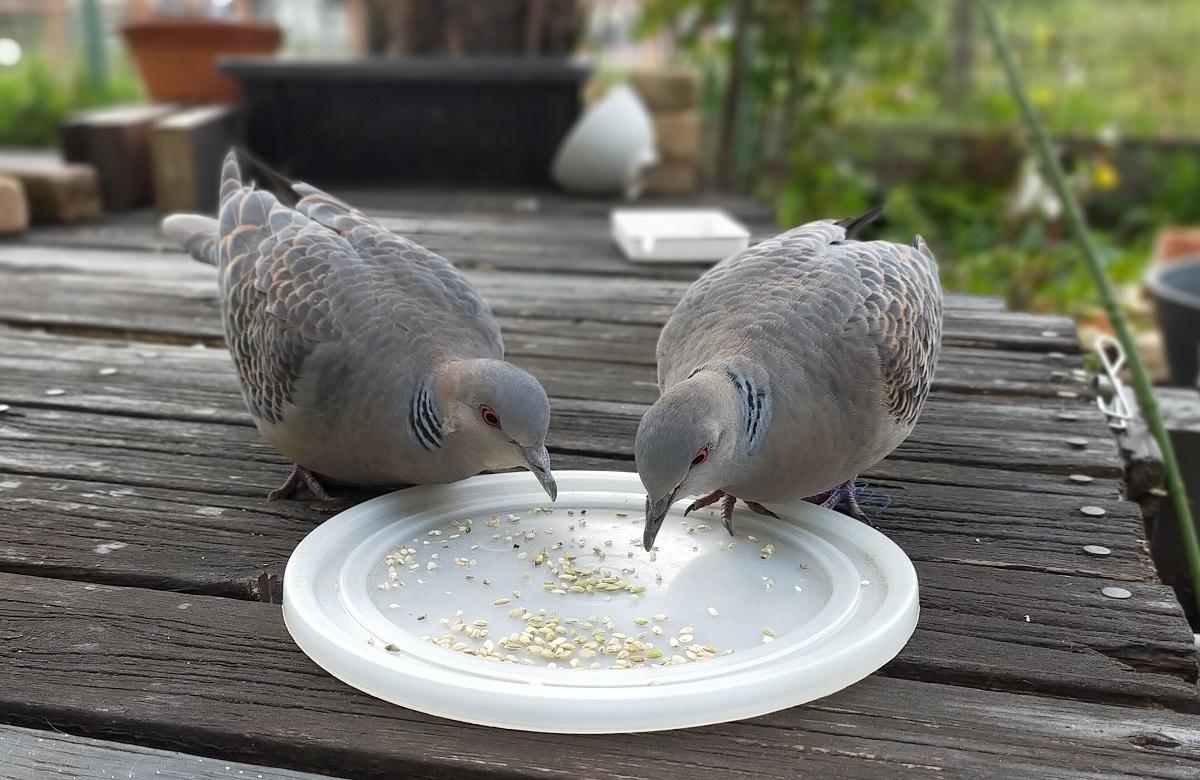 餌を食べるキジバト