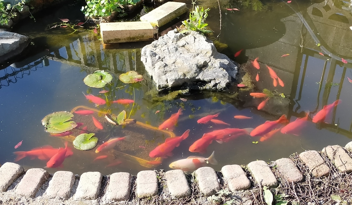 自作池の金魚達