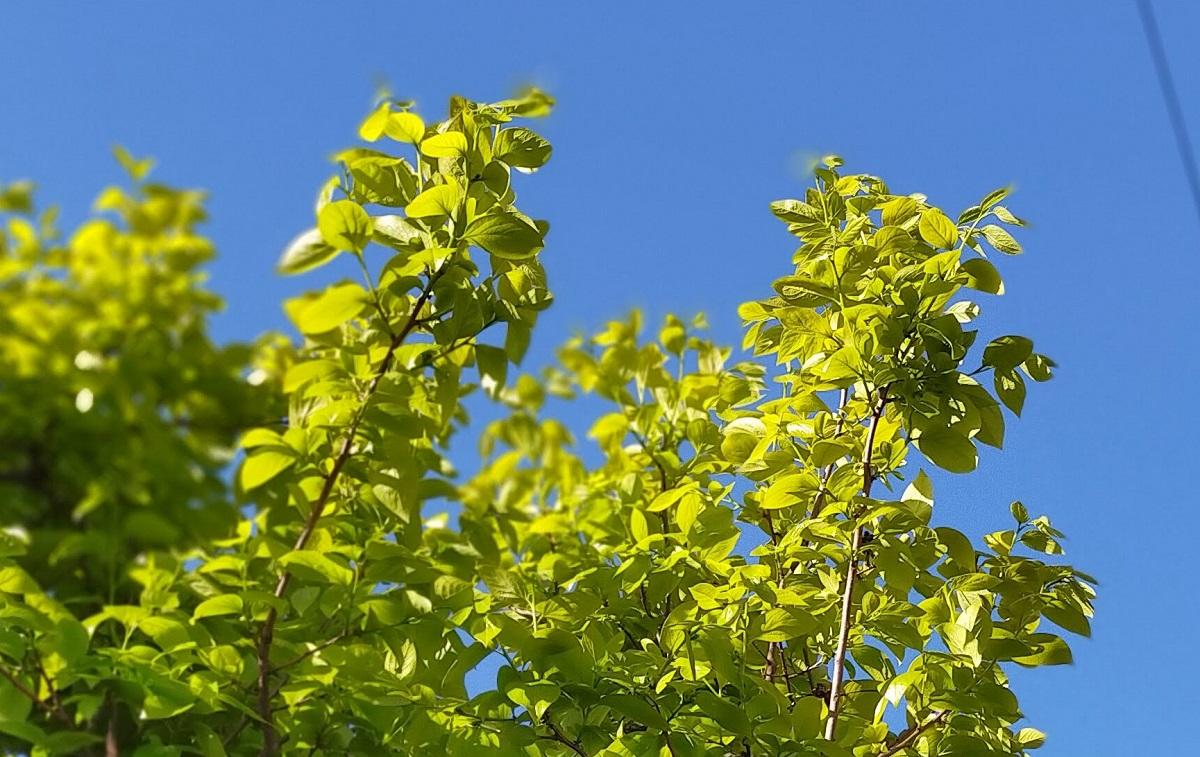新緑色の柿の葉